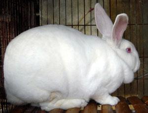山东獭兔肉兔养殖场